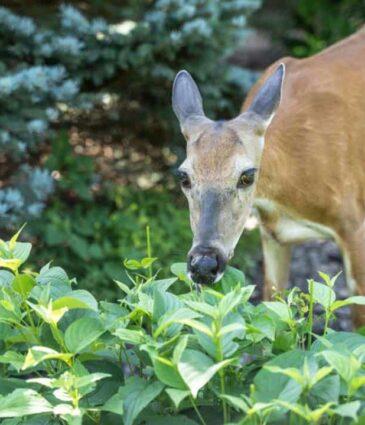 Deer-Resistant Plants for the Lakes Region