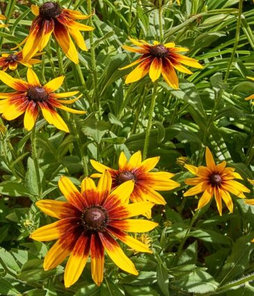 Top 10 Perennials for the Northeast